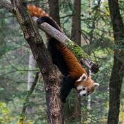 trek au népal langtang observation du panda roux
