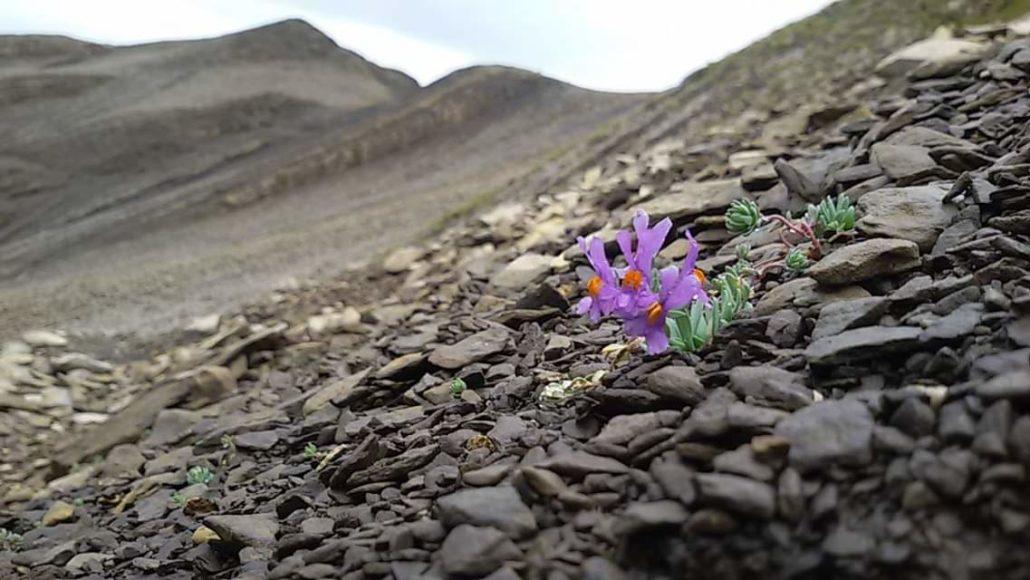 fleur haut giffre - trek dans les alpes françaises et suisses