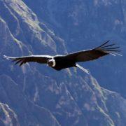 Trek Sud Pérou - jour 5 - condor canyon del colca