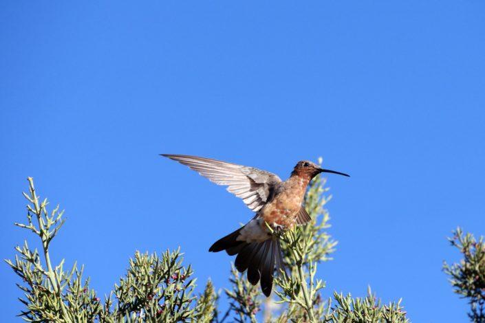 Oiseau à Llachon - péninsule de Capachica