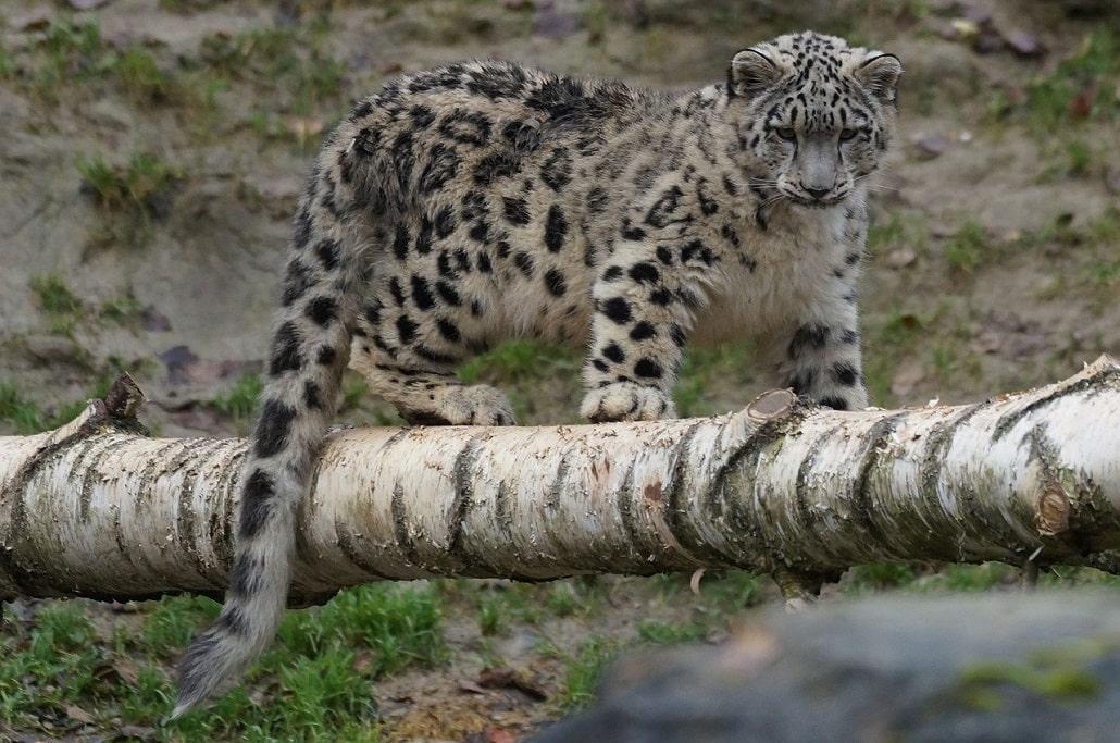 trek au langtang - léopard des neiges