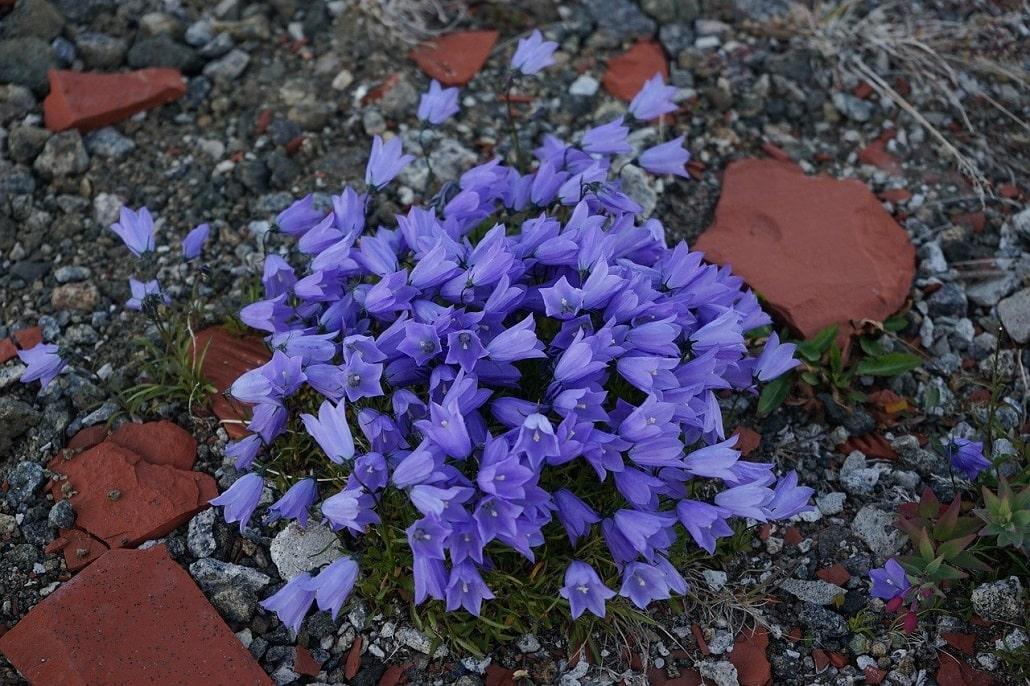 fleurs groenland violettes