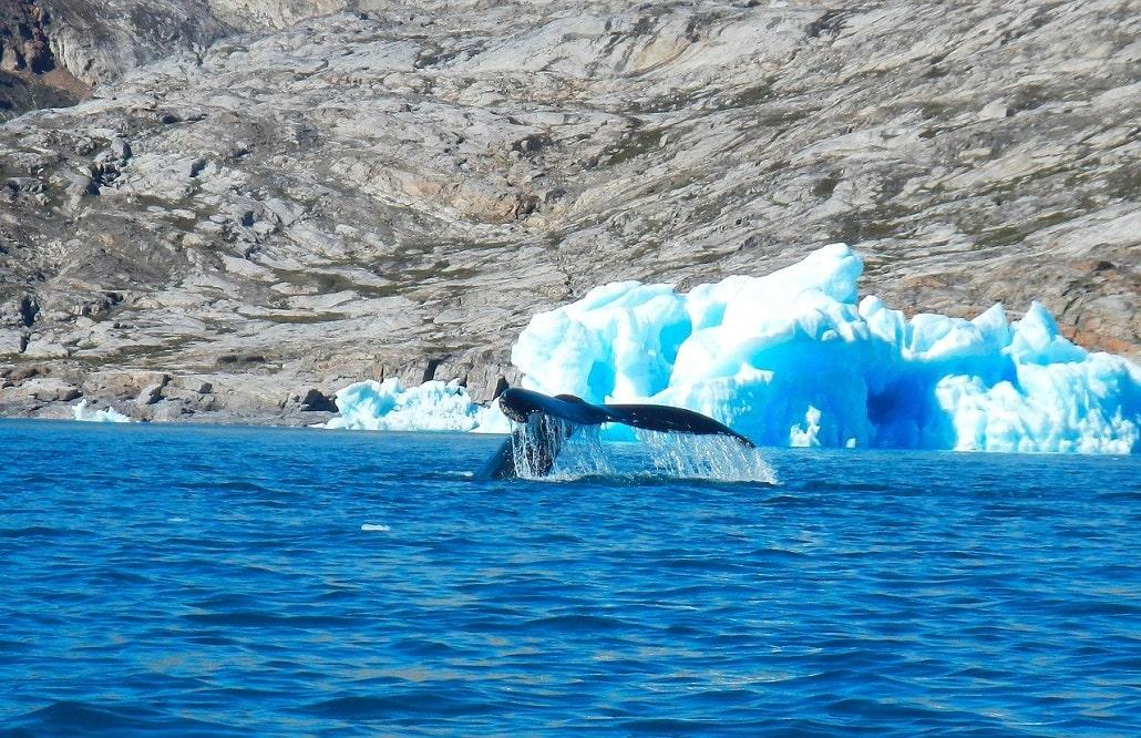 baleine fjord Sermilik - voyage côte est Groenland Watse