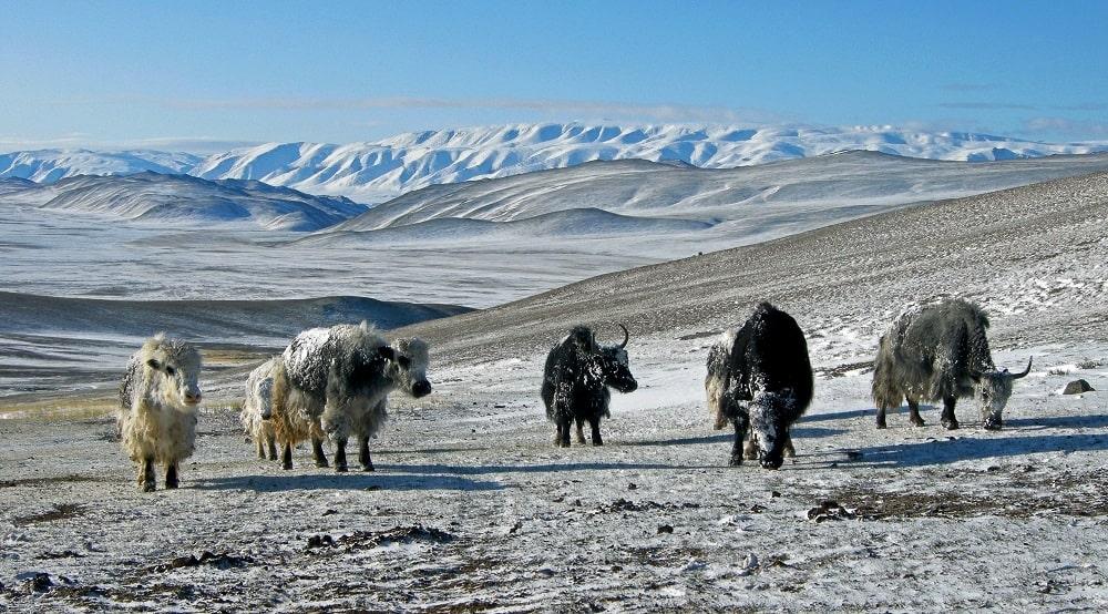 Yaks dans l'Altai Mongol - trek en Mongolie avec Watse