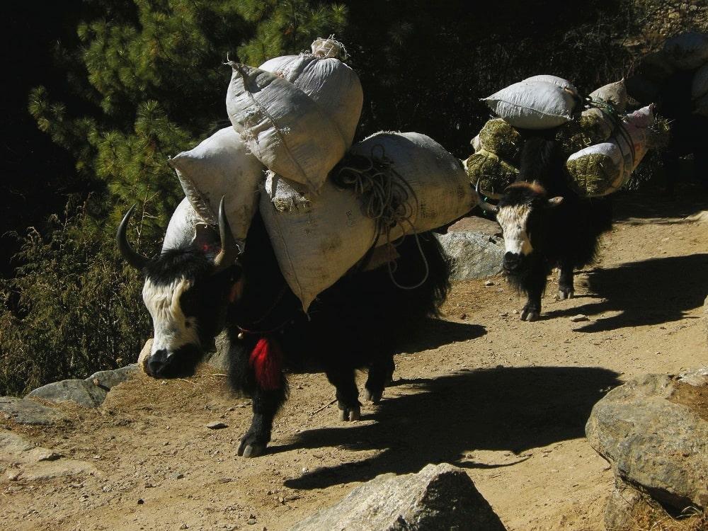 Yaks sur les sentiers de l_Everest - trek Népal - agence Watse